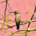 Hummingbird On A Branch by Clarence Alford