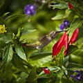 Hummingbird by Sarah Sage