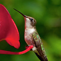 Hummingbird by Steven Natanson