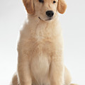 Humorous Photo Of Golden Retriever Puppy by Oleksiy Maksymenko