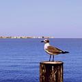 Hungry Sea Gull by Gary Wonning