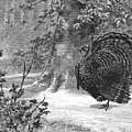 Hunting: Wild Turkey, 1886 by Granger
