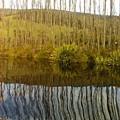 Huon Poplars by Bethwyn Mills