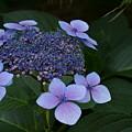 Hydrangea Blue In The Garden Xii by Jacqueline Russell