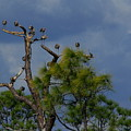 Ibis In The Pines - Debbie May by Debbie May