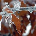 Iced Leaves by Steve Somerville