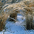 Iced Ornamental Grass by Sally Weigand