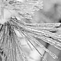 Iced Pine Needles by Robin Lynne Schwind