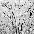 Icy Tree by Susan Kinney