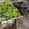 Iguana At Talum Ruins Mexico 2 by Douglas Barnett