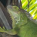 Iguana Puerto Rico by Marilyn Holkham