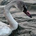 Immature Swan by Rachel Roushey