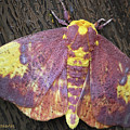 Imperial Moth by DigiArt Diaries by Vicky B Fuller