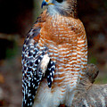 Inquisitive Red Tailed Female Hawk by Donna Proctor