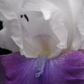 Iris 5 by Michael Peychich