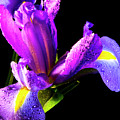 Iris Bloom One by Frederic A Reinecke