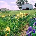 Iris Farm by Steve Karol