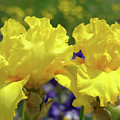Iris Flowers Garden Art Yellow Irises Baslee Troutman by Baslee Troutman