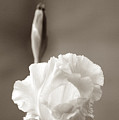 Iris In Black And White by Donna Bentley