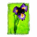 Iris by K Randall Wilcox
