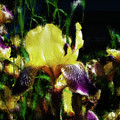 Iris Purple And Yellow by Jo-Anne Gazo-McKim