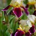 Iris Spring by Karon Melillo DeVega