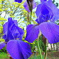 Irises Floral Garden Art Print Blue Purple Iris Flowers Baslee Troutman by Baslee Troutman