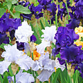 Irises Flowers Garden Botanical Art Prints Baslee Troutman by Baslee Troutman