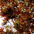 Japanese Maple 2011-1 by Robert Morin