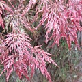 Japanese Maple In The Rain by Ellen B Pate