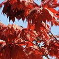 Japanese Maple by Shannon Grissom