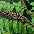 Jeweled Chameleon Furcifer Lateralis by Ingo Arndt