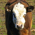 Just A Cow by Kathy Roncarati