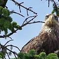 Juvenile Bald Eagle by Mark Cheney