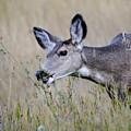 Juvenile Mule Deer Feeding by Ken Cornett