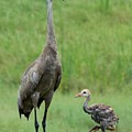Juvenile Sandhill Crane With Protective Papa by Carol Groenen