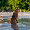 Kamchatka Brown Bear by Sergey  Krasnoshchekov