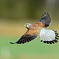Kestrel Bird by Mark Hughes