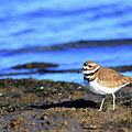 Killdeer . 40d4101 by Wingsdomain Art and Photography