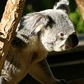 Koala Bear 2 by Anthony Jones