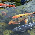 Koi In Pond I by Mary Haber