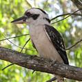 Kookaburra by Derek Donoghue