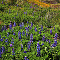 La Jolla Canyon Lupines by Greg Clure