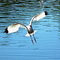 Landing Ibis by Wayne Skeen