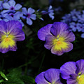 Lavender And Yellow Pansies by Eva Thomas