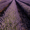 Lavender Field Provence France by Dave Mills