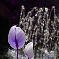 Lavender Flower At Fountain by Alice Markham