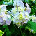 Lavender Hydrangea In Garden by Susan Savad