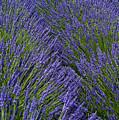 Lavender In Sequim by Jon Cretarolo