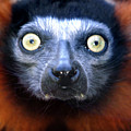 Lemur Glare by Alan Look